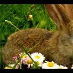 Little Bunny FuFu (Foo Foo)